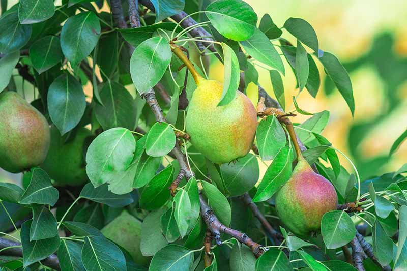 A close up horizontal image of large pears ripening on the tree pictured in light sunshine fading to soft focus in the background.