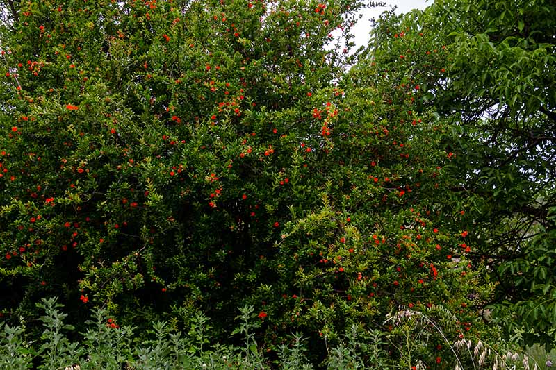 A horizontal image of a large pomegranate tree in full bloom covered in an abundance of red flowers.