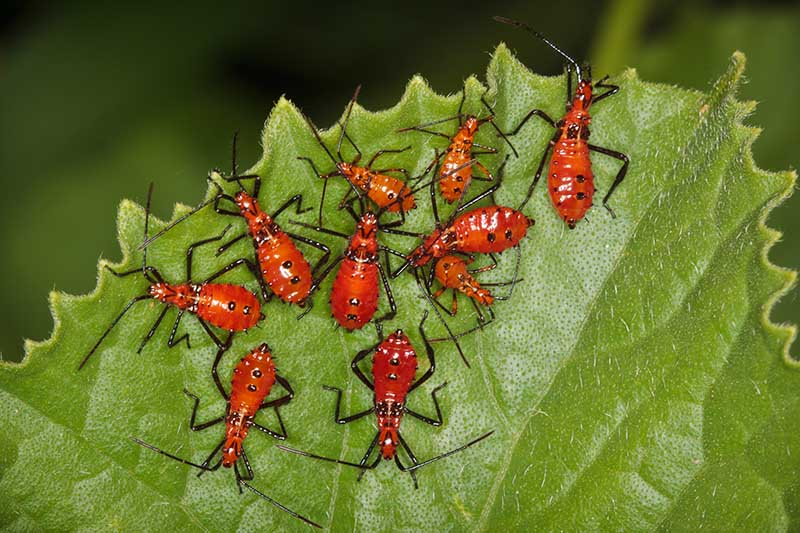 A close up horizontal image of leaf-footed bug nymphs with red bodies and black spots on a leaf pictured on a soft focus background.
