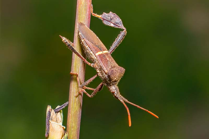 A close up horizontal image of a leaf-footed bug on the stem of a plant pictured on a soft focus background.