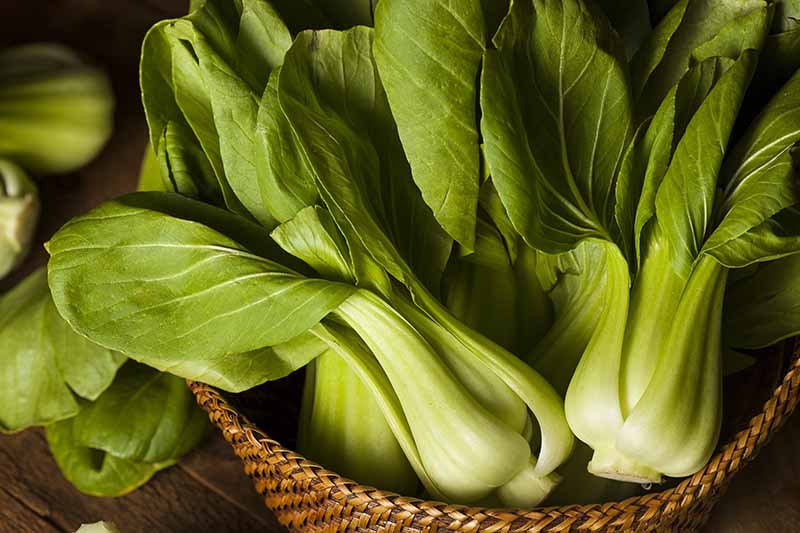 A close up horizontal image of bok choy in a wicker basket pictured on a soft focus background.