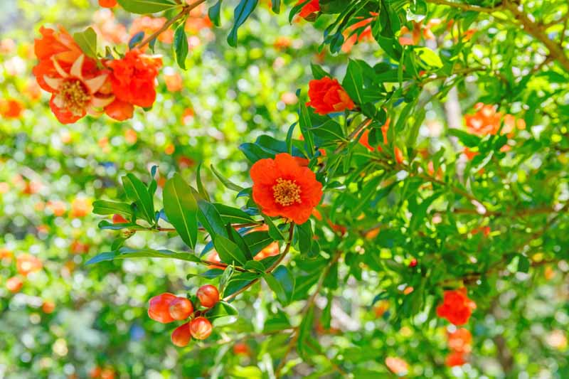 A close up horizontal image of bright red pomegranate flowers growing in the garden pictured in bright sunshine.