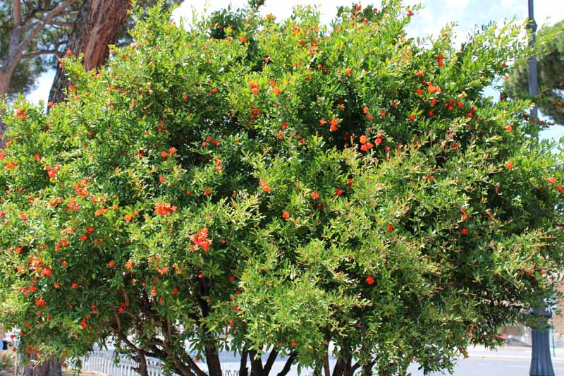 A close up horizontal image of a pomegranate tree growing in a shrub-like form laden with bright orange flowers.