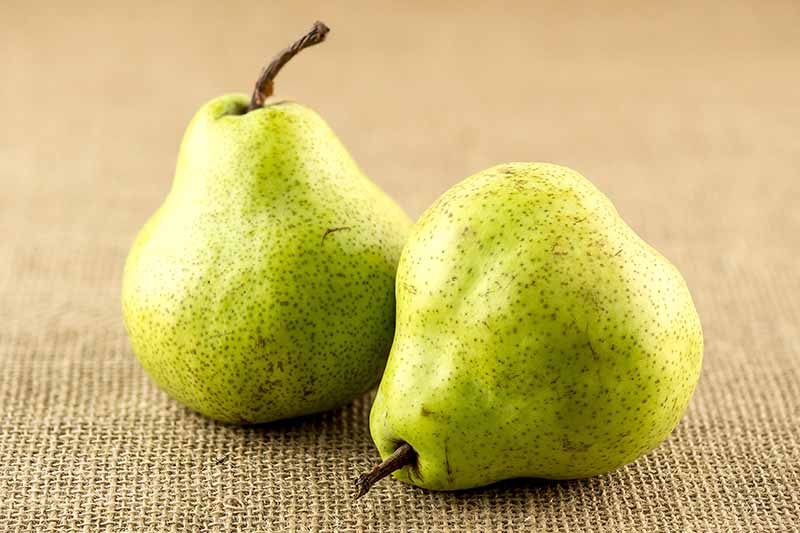 A close up horizontal image of two ripe pears on a fabric surface.