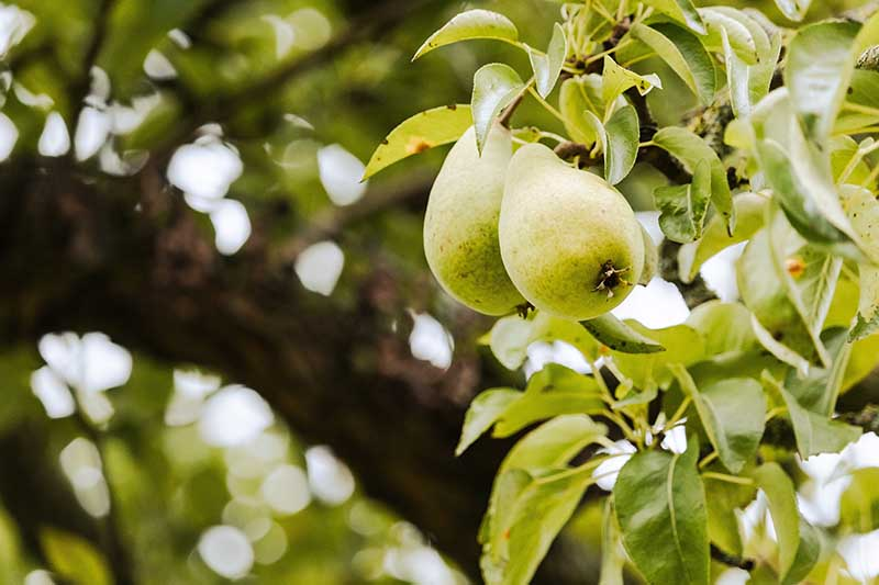 A close up horizontal image of unripe pears growing in an orchard pictured on a soft focus background.