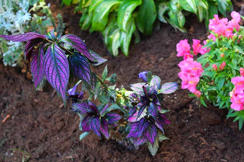 A close up horizontal image of Persian shield planted in a garden border with colorful flowers and other perennials.