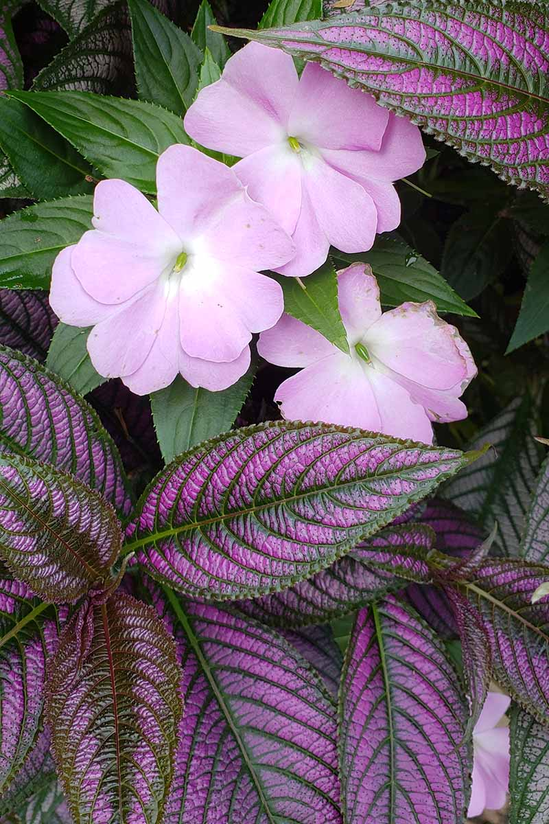 A close up vertical image of Persian shield growing in the garden with small pink flowers.