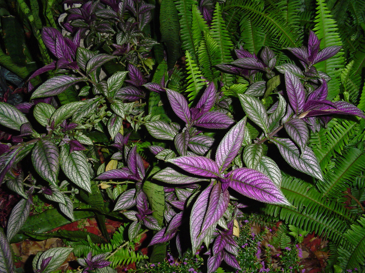 A close up horizontal image of Persian shield plants growing in a shaded location with ferns.