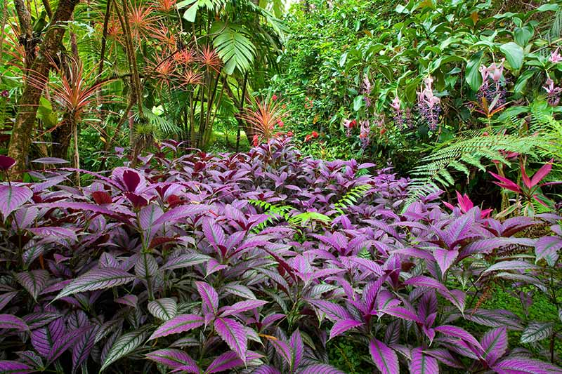 A horizontal image of a colorful tropical landscape with flowers and purple foliage of Persian shield plants.