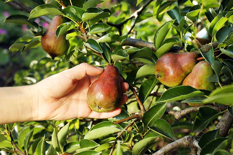 A close up horizontal image of a hand from the left of the frame picking a ripe pear from a tree in the garden pictured in light sunshine.