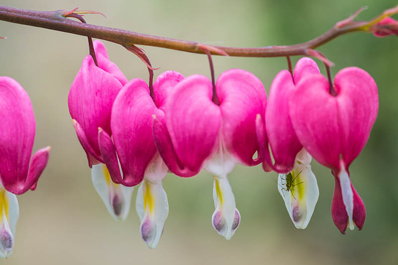 A close up horizontal image of pink and white bleeding hearts with an insect on one of the blooms pictured on a soft focus background.