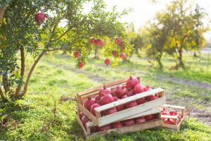 How and When to Harvest Pomegranates