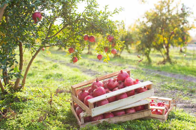 A close up horizontal image of wooden crates filled with ripe fruits set on the ground in a pomegranate orchard pictured in light sunshine.