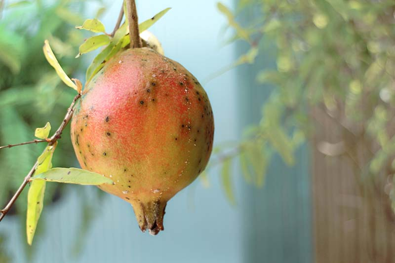 A close up horizontal image of a pomegranate fruit that is suffering from a fungal infection that causes spots on the surface.