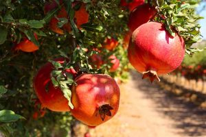 How to Identify and Control Pomegranate Pests and Diseases