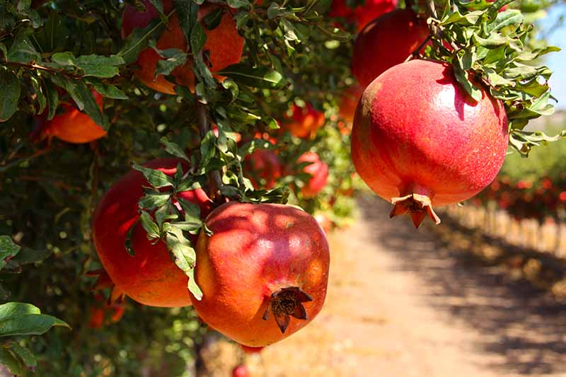 A close up horizontal image of ripe pomegranates growing on the tree pictured in bright sunshine.