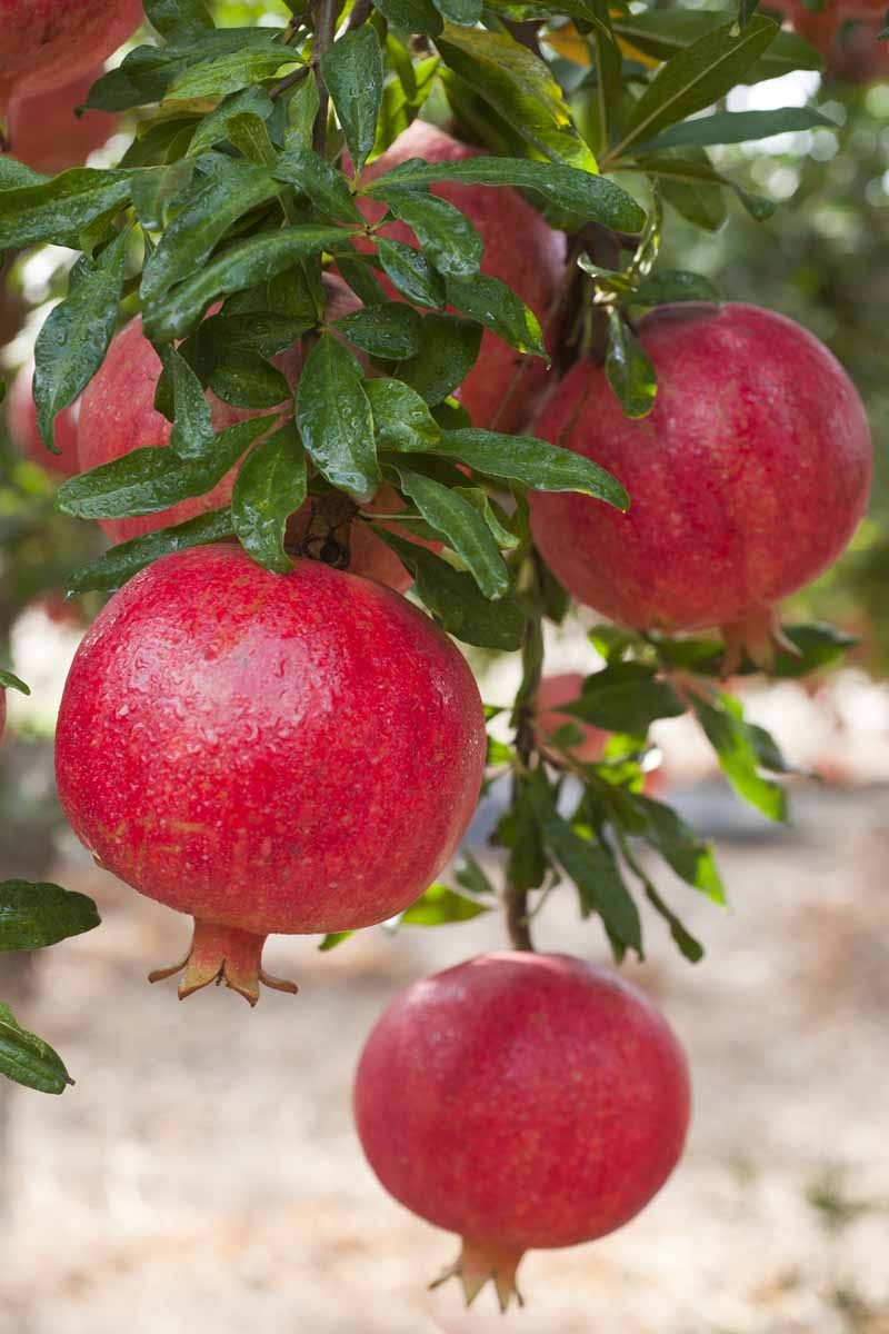 A close up vertical image of ripe red pomegranates growing on tree pictured on a soft focus background.