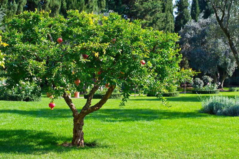 A horizontal image of a pomegranate tree growing in a formal garden with lawns, hedging, and trees in the background.