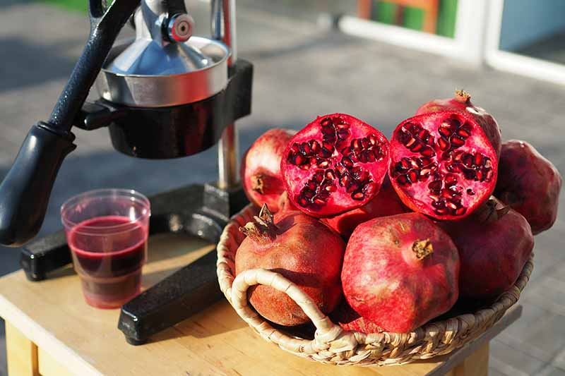 A close up horizontal image of a pile of pomegranates in a wicker basket next to a juicing machine.
