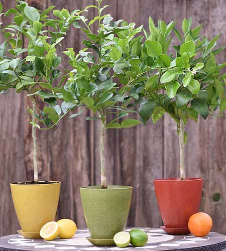 A close up square image of three citrus trees in small pots set on an outdoor table with a wooden fence in the background.