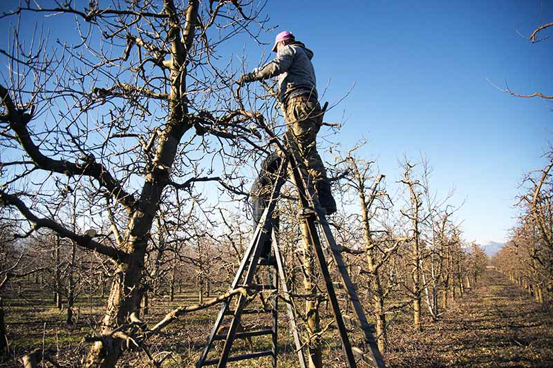 A horizontal image of gardeners up ladders in an orchard, pruning in winter pictured on a blue sky background.