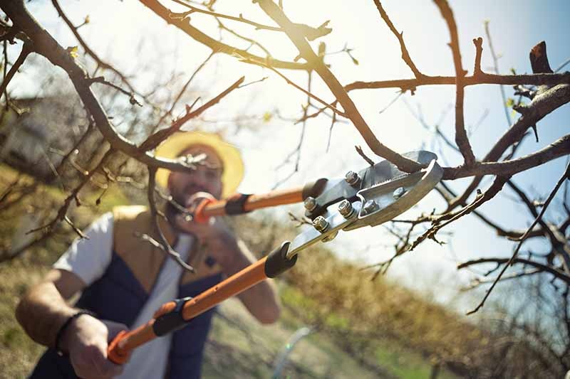 A close up horizontal image of a gardener pruning a pear tree pictured in light sunshine.
