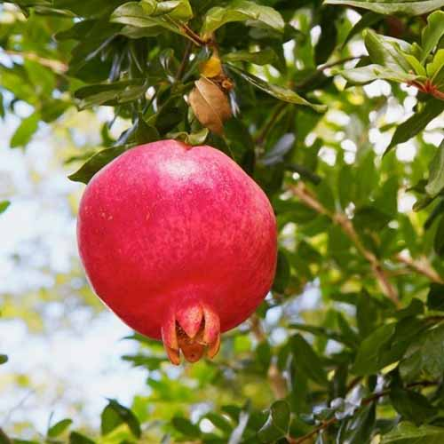 A close up square image of a 'Purple Heart' pomegranate growing on the tree ready for harvest.