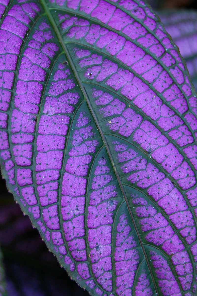 A close up vertical image of the bright purple leaf of a Persian shield pictured on a soft focus background.