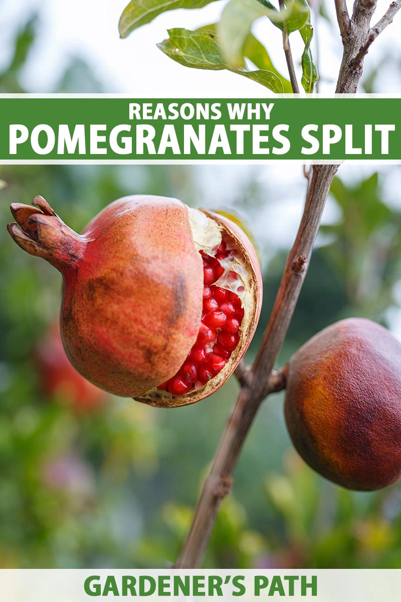 A close up vertical image of a pomegranate fruit growing on the tree that has split open to reveal the red arils inside, pictured on a soft focus background. To the top and bottom of the frame is green and white printed text.