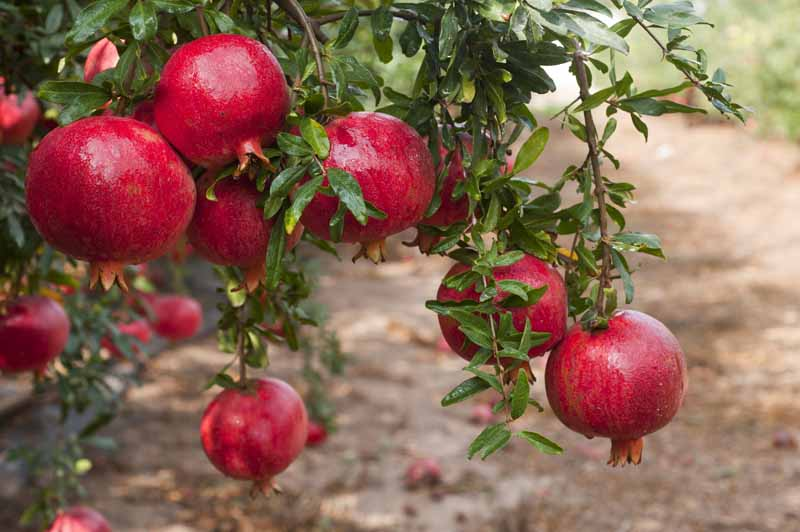 A close up horizontal image of ripe red pomegranates ready for harvest pictured on a soft focus background.