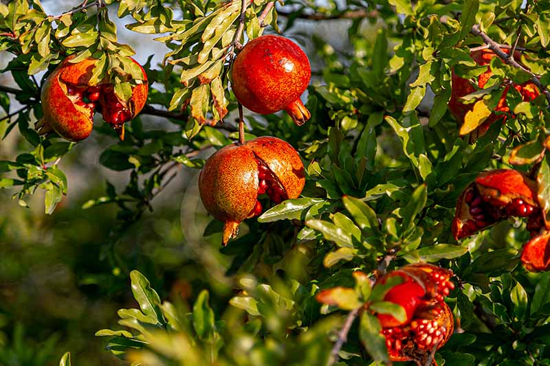 A close up horizontal image of ripe pomegranates growing on the tree some of which have split open, pictured in light autumn sunshine.