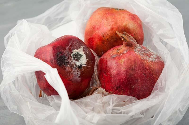 A close up horizontal image of three rotten pomegranates on a plastic bag.