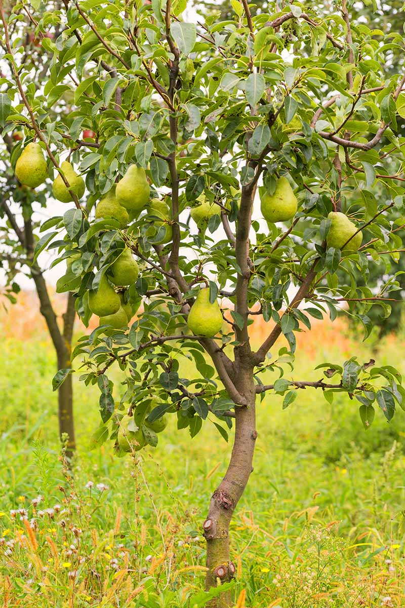 A close up vertical image of a small pear tree growing in a backyard orchard.