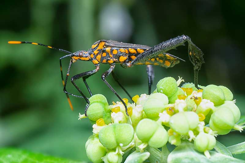 A close up horizontal image of a squash leaf-footed bug with a black body and orange spots pictured on a soft focus background.
