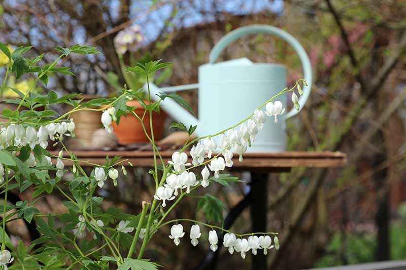 A close up horizontal image of white bleeding hearts flowers growing in the garden with a wooden table and watering can in soft focus in the background.