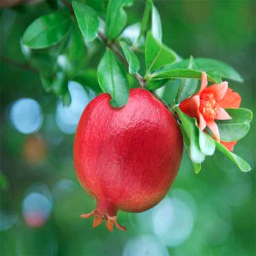A close up square image of a 'Wonderful' pomegranate ready for harvest with foliage and flowers in soft focus in the background.
