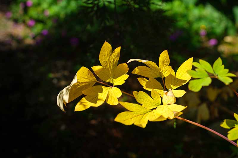 A close up horizontal image of the foliage of a bleeding heart plant that has turned yellow in autumn pictured in bright sunshine on a soft focus background.